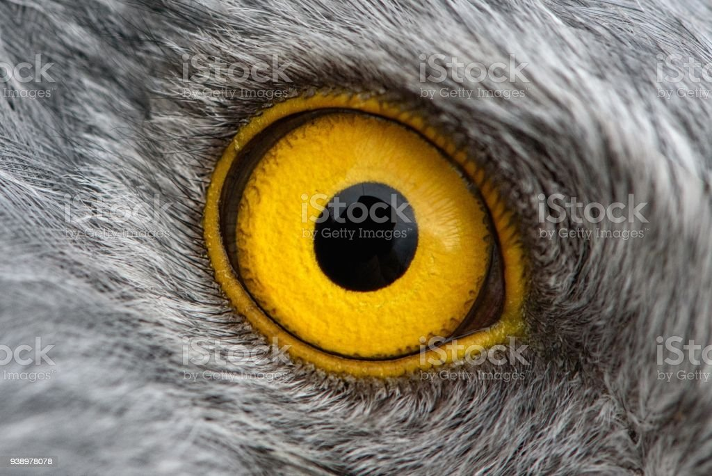 eagle eye close-up, macro photo, eye of the male Northern Harrier stock photo