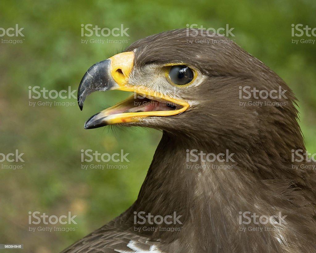 Eagle eyes royalty-free stock photo