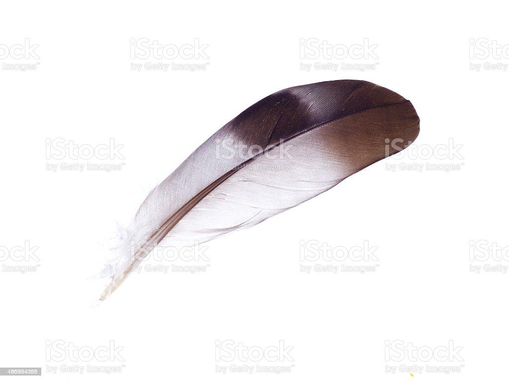 Eagle plumes isolé sur fond blanc - Photo