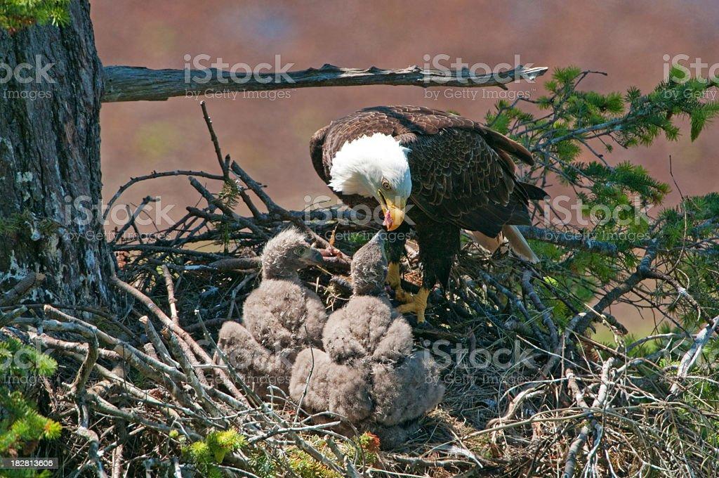 Eagle Feeding 2 Chicks - 5 Weeks Old stock photo