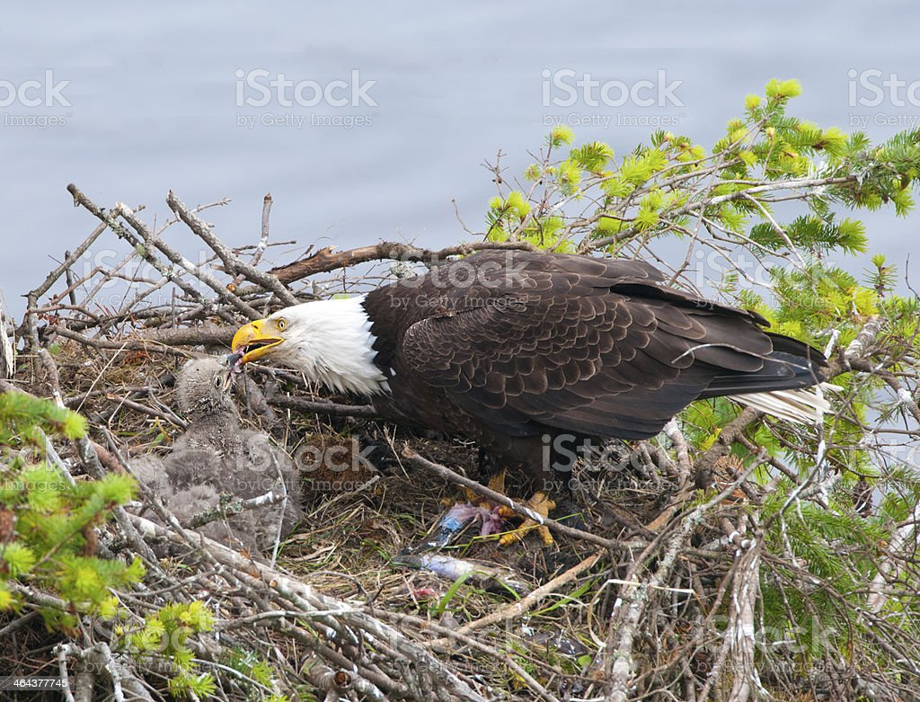 Eagle Feeding Chick stock photo