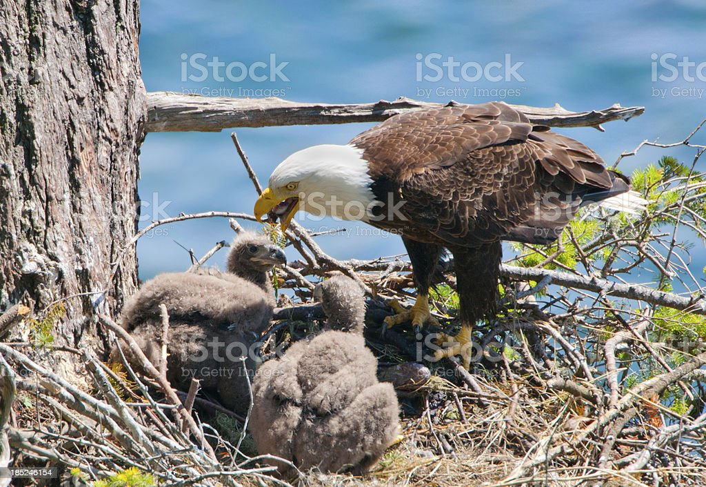 Eagle Feeding Chicks in Nest stock photo