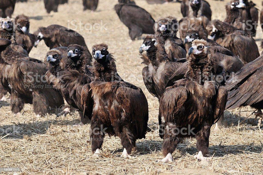 Rebanho de águia - foto de acervo