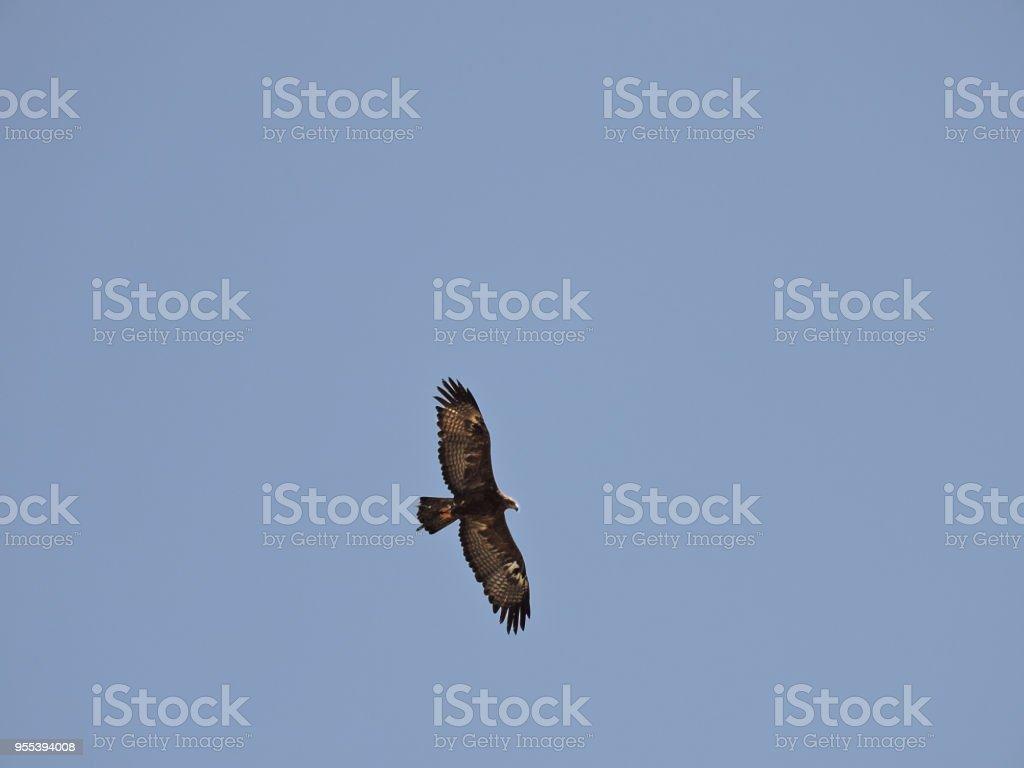 Eagle fly stock photo