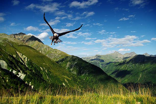 eagle voar acima das montanhas - pena de pássaro algodão imagens e fotografias de stock