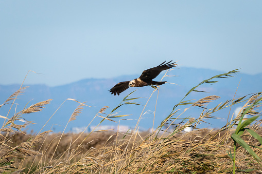 Eagle flying and hunting in the natural park of Albufera, Valencia, Spain. Natural Background
