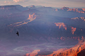 Eagle flying into Grand Canyon south rim above Colorado River at sunset – Arizona, USA
