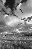 Eagle flying over the forest, swamp. Black and white photo