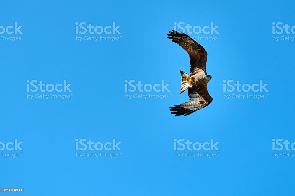 eagle flying over the sky stock photo