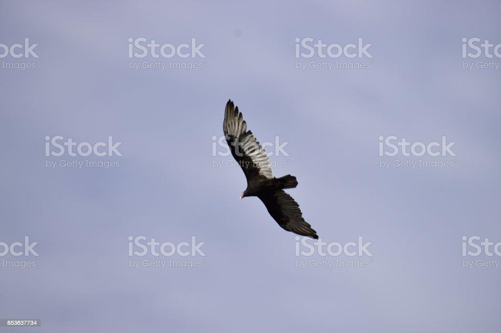 Uma águia voando sob o céu azul - foto de acervo