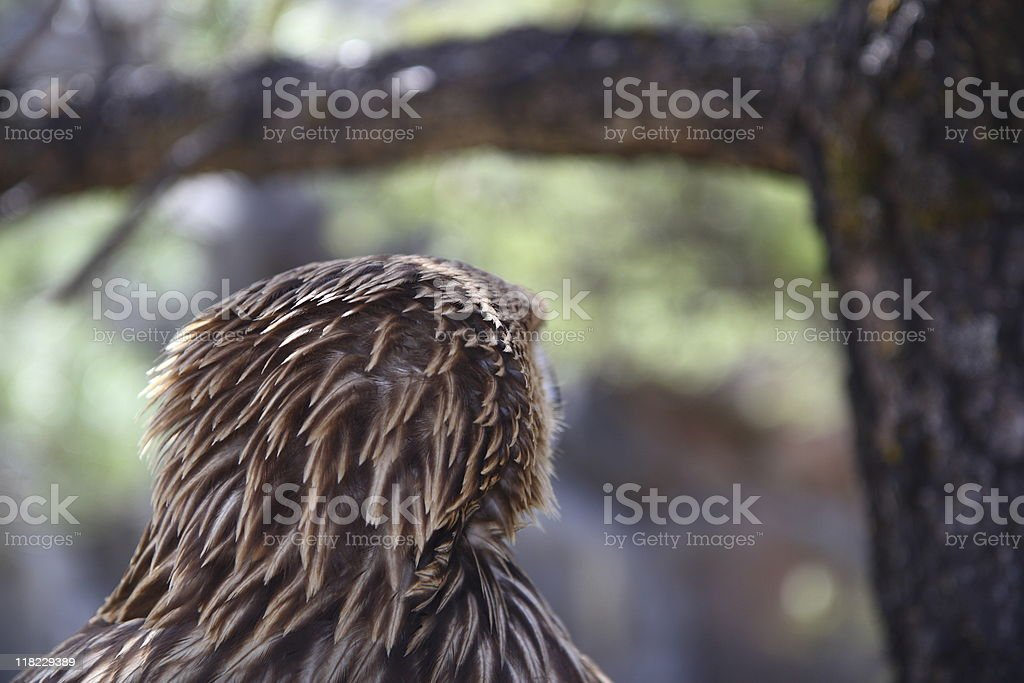 Eagle from behind (eagle series) royalty-free stock photo