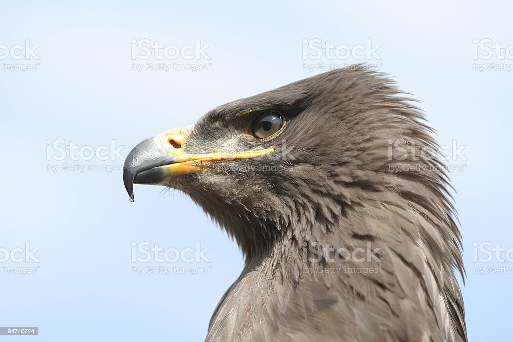 Eagle head royalty-free stock photo