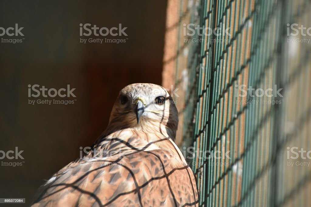 Eagle in a cage stock photo