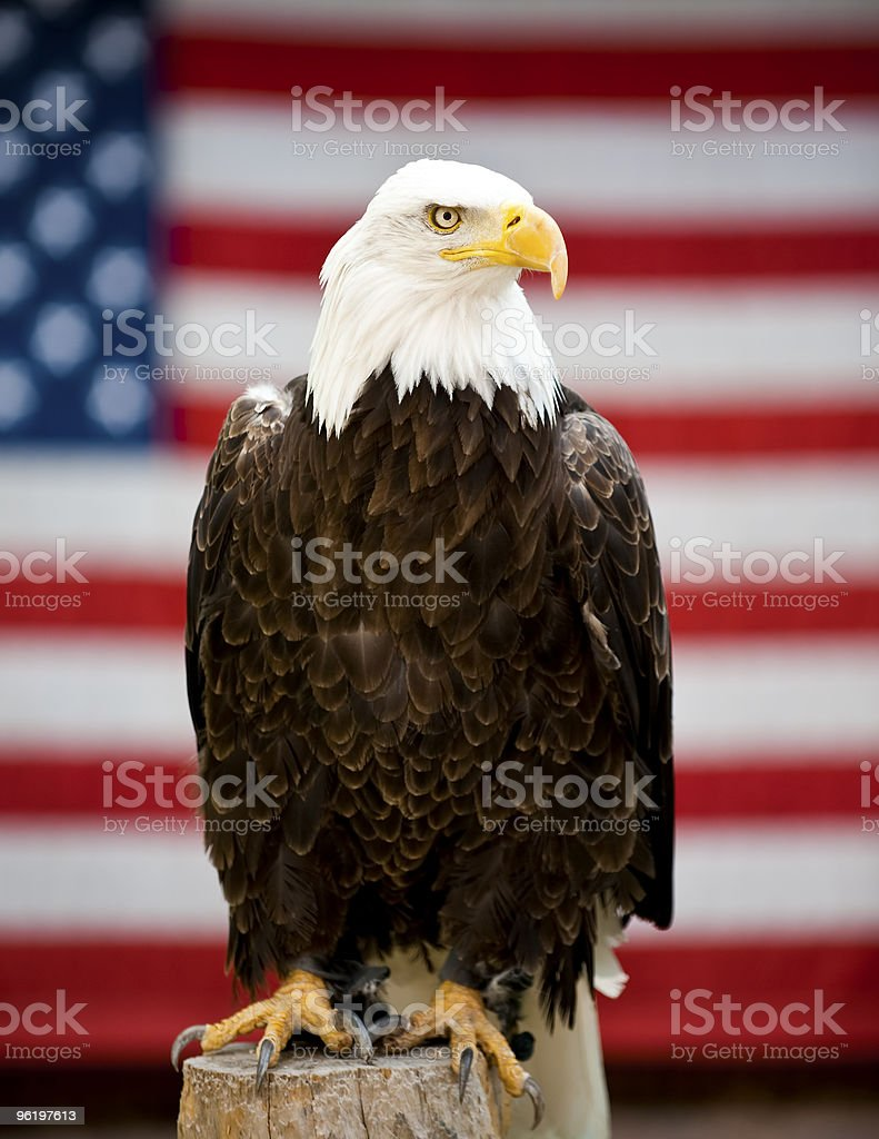 Eagle in Front of United States Flag stock photo