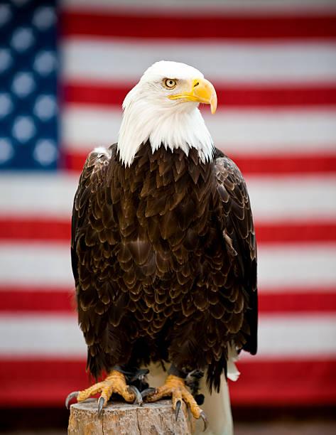 eagle in front of united states flag - neerstrijken stockfoto's en -beelden