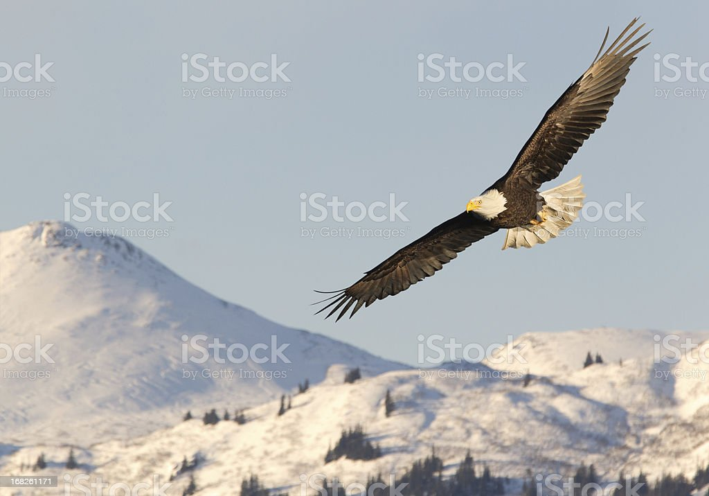 Eagle in mid-flight soaring over snow-covered mountains royalty-free stock photo