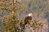 A bald eagle sits in a pine tree. viewed in profile.