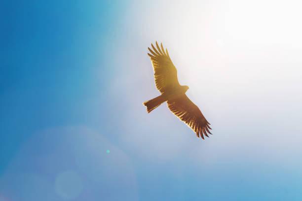 águila en el cielo. sol que brilla. - pájaro fotografías e imágenes de stock