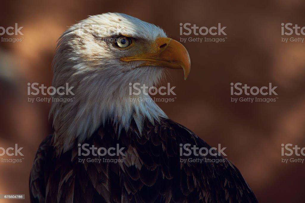 Eagle dans le désert photo libre de droits