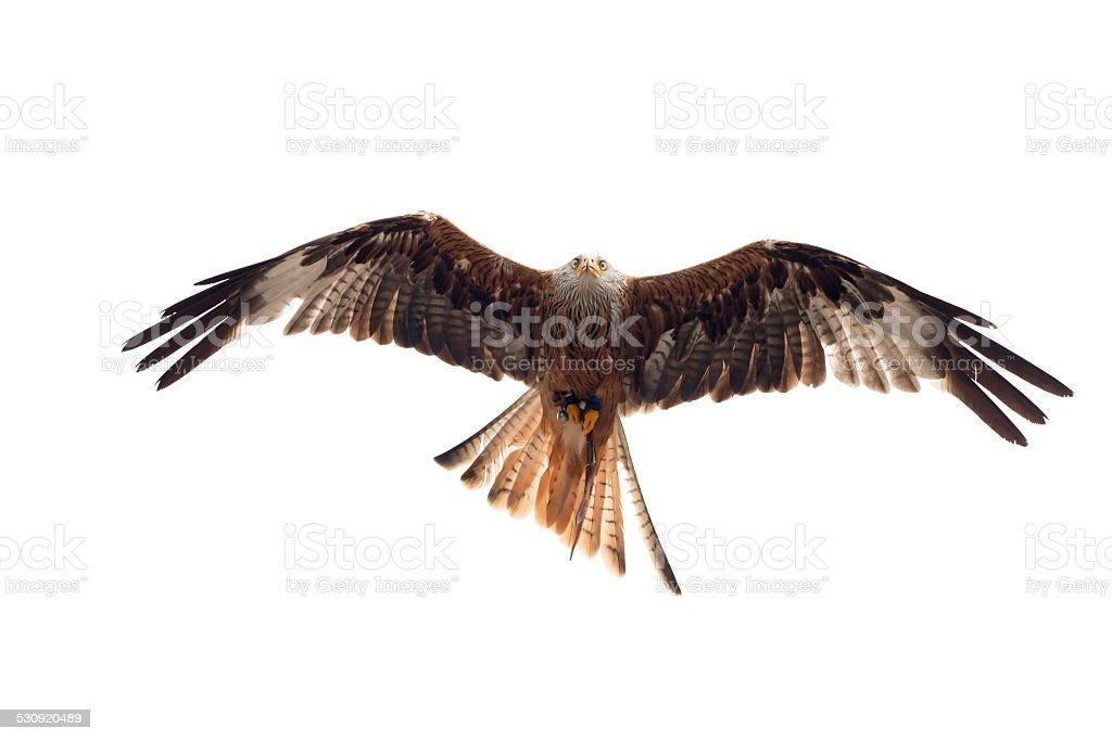 Eagle isolé sur blanc - Photo