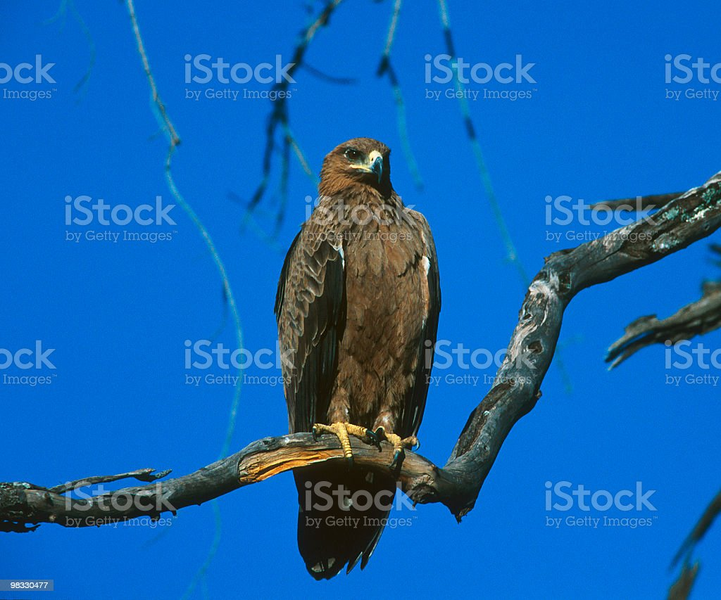 Eagle on a branch, blue sky on background royalty-free stock photo