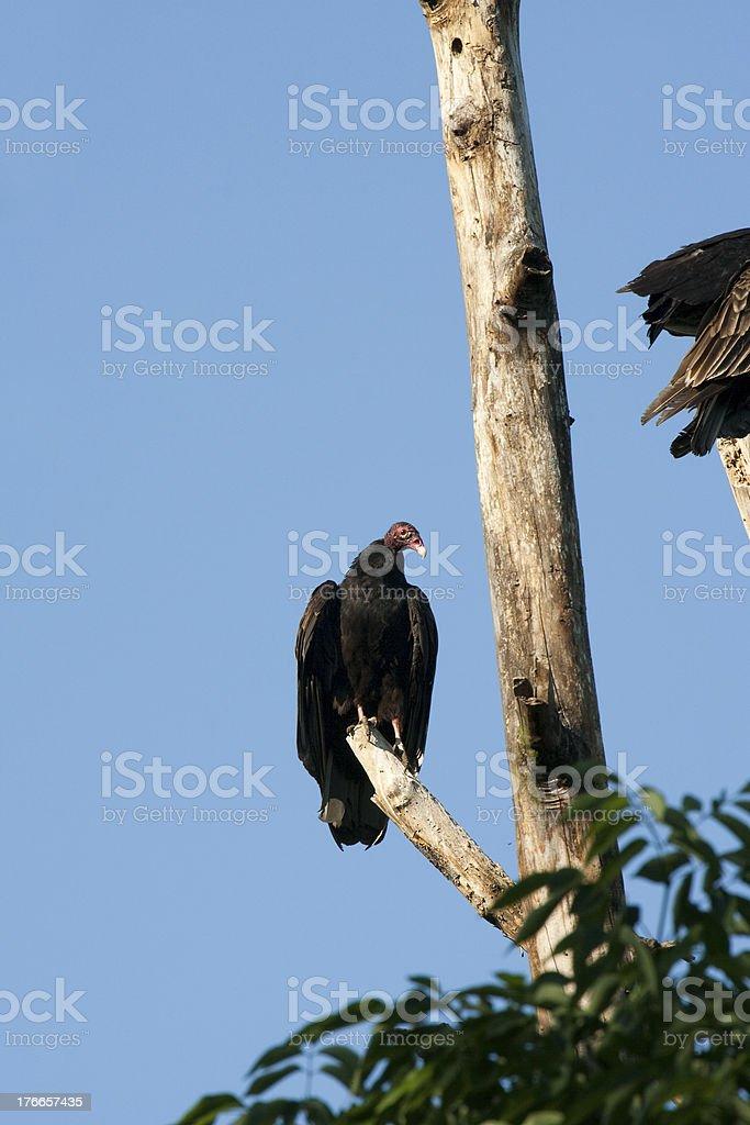 Eagle on a Tree royalty-free stock photo