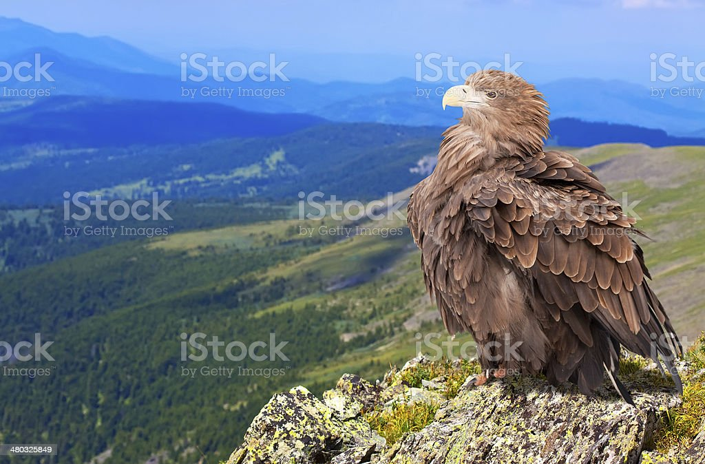 eagle on rock stock photo