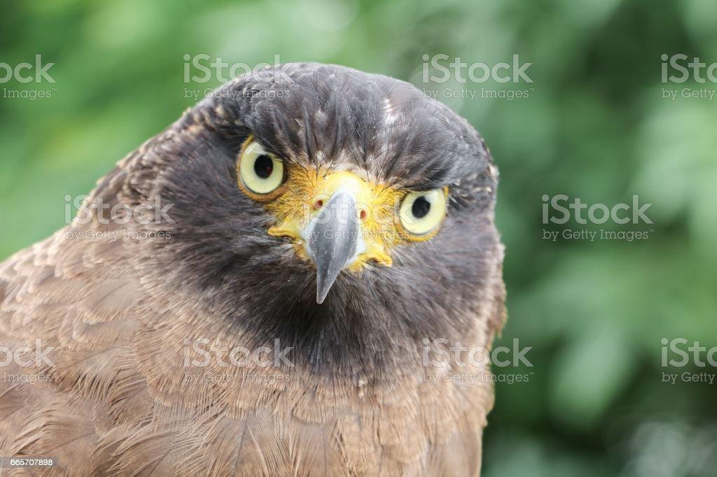 eagle or  Falcon Peregrine stock photo