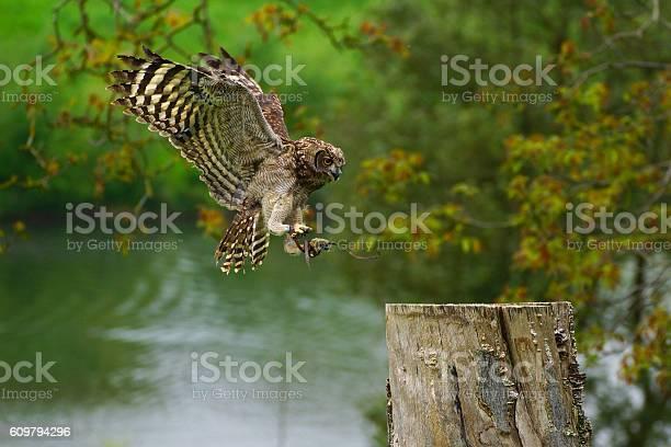 Eagle owl 2 picture id609794296?b=1&k=6&m=609794296&s=612x612&h= nuplwakxusow2ontfcwfpworinru2whjoyzlnvr98w=
