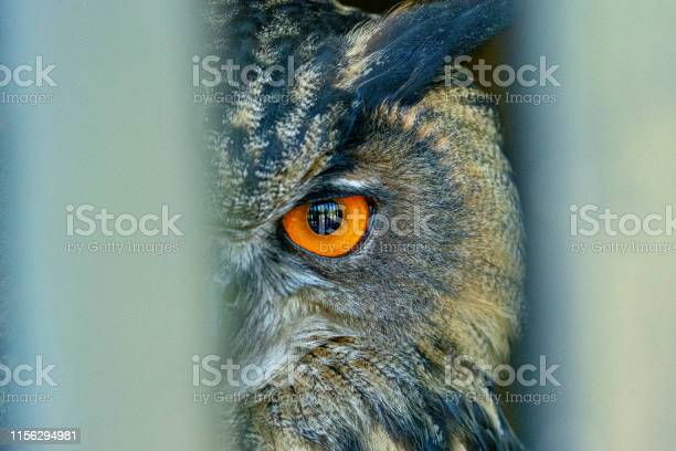 Eagle owl bubo bubo picture id1156294981?b=1&k=6&m=1156294981&s=612x612&h=okziouyysgiqpsxznyda sxhvokbwbypufen6ftys18=