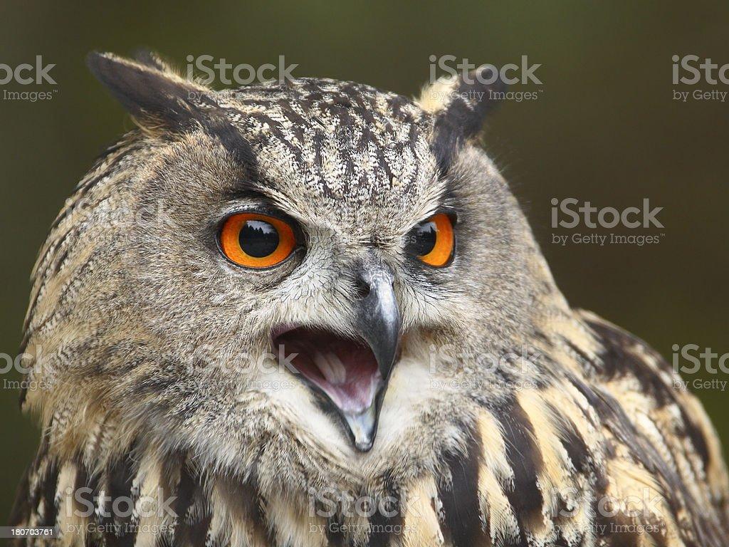Eagle Owl Calling stock photo