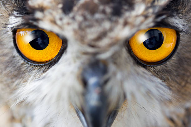 Eagle owl details of eyes picture id168410103?b=1&k=6&m=168410103&s=612x612&w=0&h= cfw3lxqmbdkmxtvjqhicscpo9gqy7nykj6f7rpcn9w=