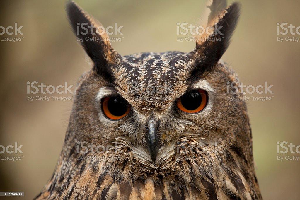 Eagle Owl Face royalty-free stock photo