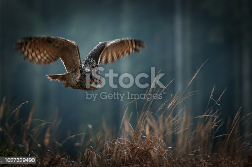 istock Eagle owl flying in the night forest. Big night bird of prey with big orange eyes hunting in the dark forest. Action scene from the forest with owl. Bird in fly with wide open wing. 1027329490