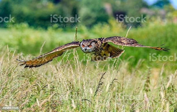 Eagle owl flying low over a grassy meadow picture id499843345?b=1&k=6&m=499843345&s=612x612&h=witrk kh5vflo8dq9pb8qfozxzkmts0ic8qpi9sokks=