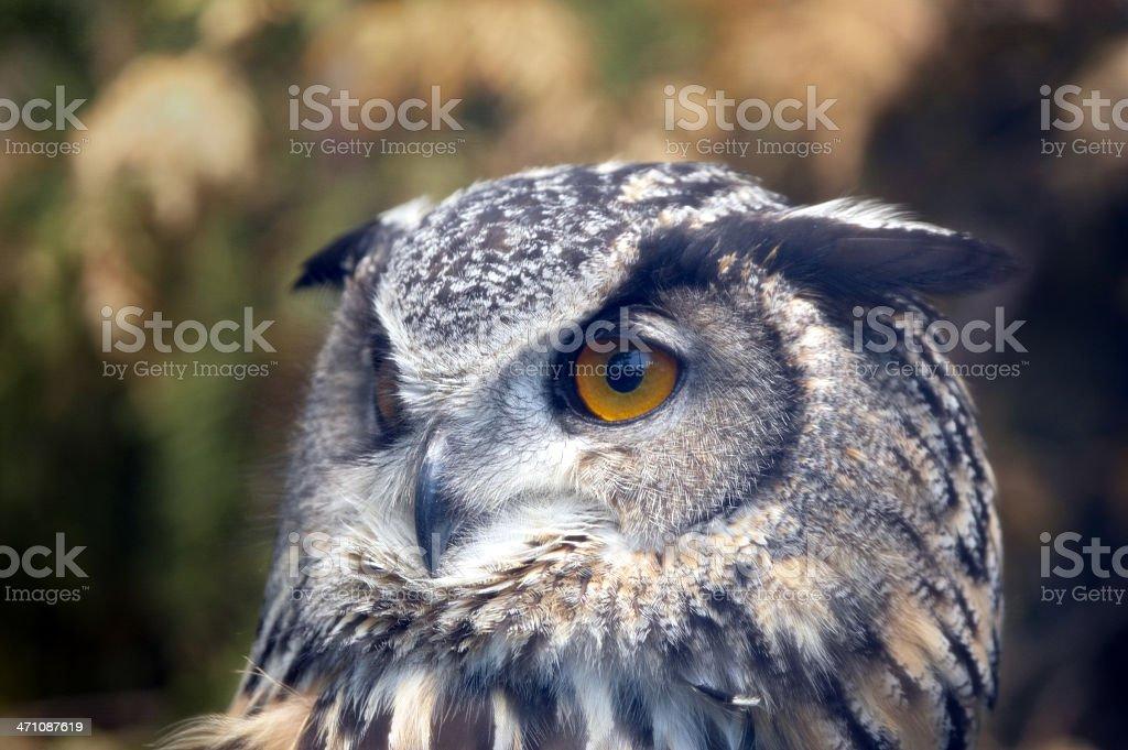 Eagle Owl head shot royalty-free stock photo