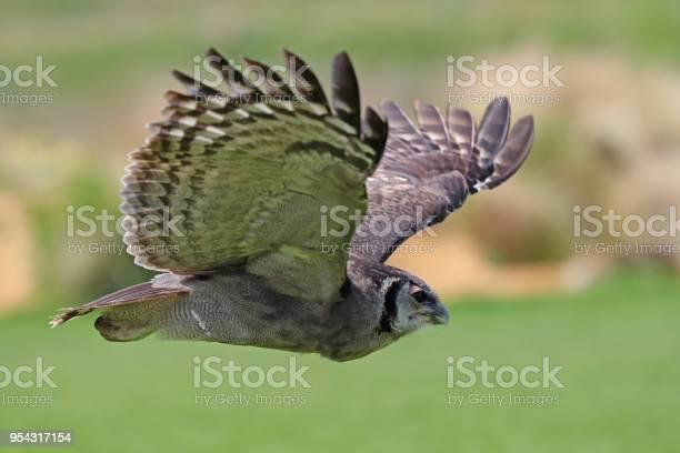 Eagle owl in flight picture id954317154?b=1&k=6&m=954317154&s=612x612&h=azwwb27tk4qucxvcp2pecfidg2sbdeaqboqaqyu4 wq=