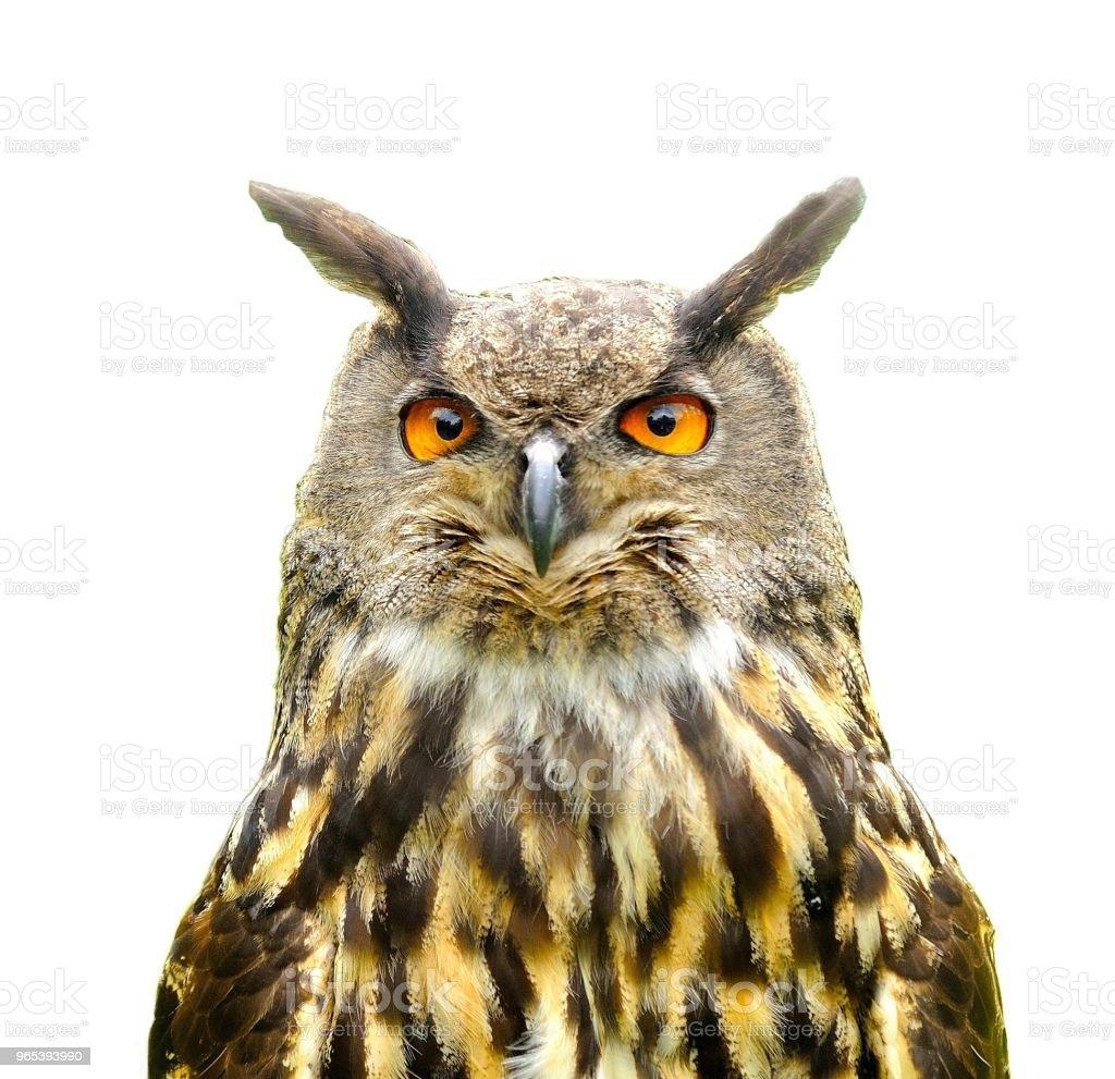 Eagle Owl (Bubo Bubo) isolated on white. zbiór zdjęć royalty-free