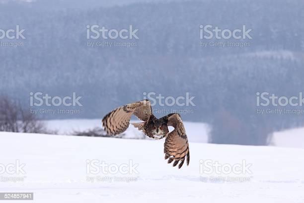 Eagle owl lat bubo bubo picture id524857941?b=1&k=6&m=524857941&s=612x612&h=12eneyirncgbe7eu0vdvbtft703agab 4l7ostf 18m=