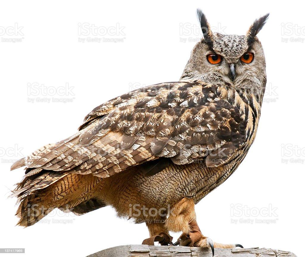 Eagle owl on white background stock photo