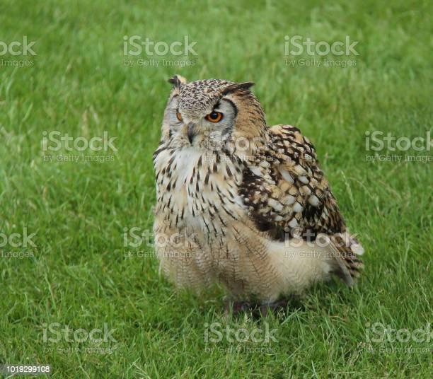 Eagle owl picture id1019299108?b=1&k=6&m=1019299108&s=612x612&h=vp9trjericfs2urwrrlnihw7loo8kfabsiiwklyeci8=