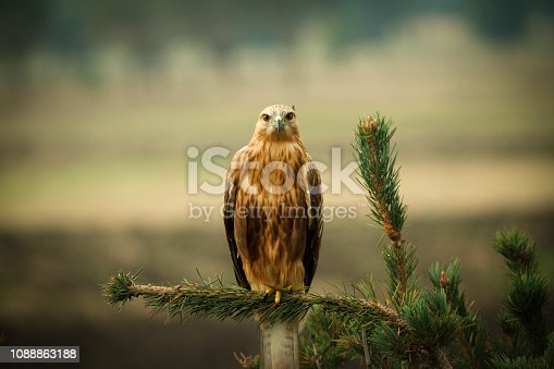 Eagle owl looking at camera.