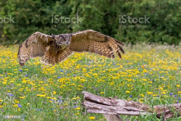 Eagle owl picture id1225214120?b=1&k=6&m=1225214120&s=612x612&h=4ctjwsefrzu2ttfhhza1ggv 82pdnhgypjhnaruxmuy=