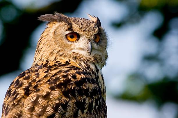 Eagle owl picture id137539235?b=1&k=6&m=137539235&s=612x612&w=0&h=bhz95v5zec0ufv5acfb4wgsmaq6eglk9u ojg1lll4y=