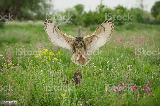Eagle owl picture id138295233?b=1&k=6&m=138295233&s=612x612&h=bvziybdw2q  igrwstm brp0ufztn2ve2gnpby tmwm=