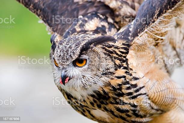 Eagle owl picture id157187656?b=1&k=6&m=157187656&s=612x612&h=bwg6ehofficygf3itmxrd7ane2iolrknkcrhqjdukyk=