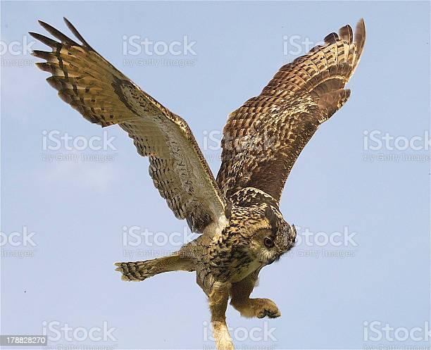 Eagle owl picture id178828270?b=1&k=6&m=178828270&s=612x612&h=bazhawz ohssflyqggu4nr4vnm jcch1xjjukn ytfw=
