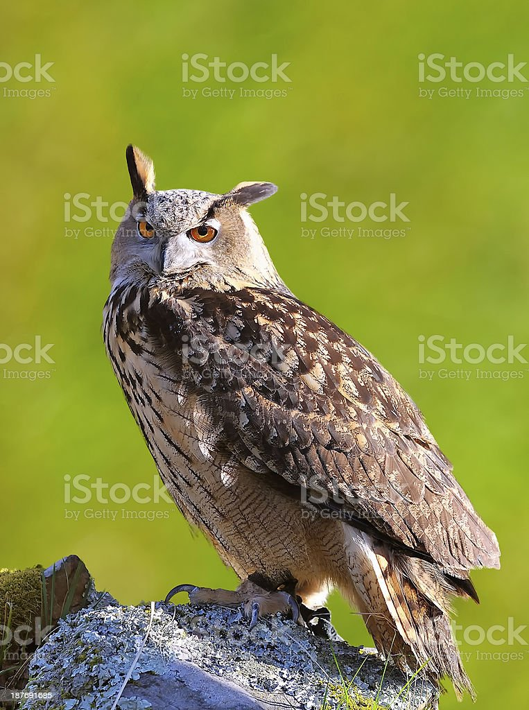 Eagle Owl. stock photo