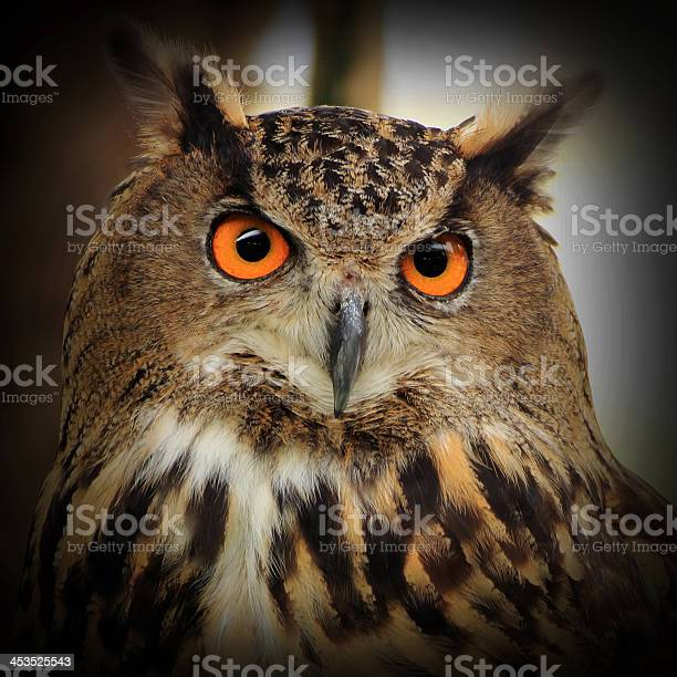 Eagle owl picture id453525543?b=1&k=6&m=453525543&s=612x612&h=dyn94q1kexqumxo2fabzmkqnh mxevh4tfxfeoc1u3y=