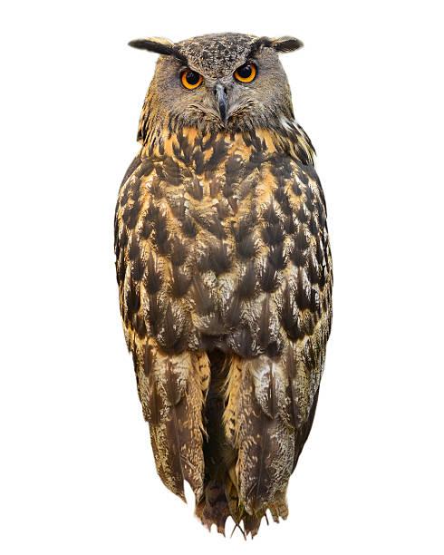 Eagle owl picture id473999028?b=1&k=6&m=473999028&s=612x612&w=0&h=mzd8lwv3tljtols7psja3eza809mhnntwqm8tnu6jgi=